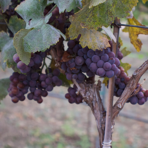 Wine Grapes - Sawmill Mountain Vineyards