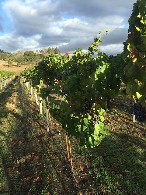 Sawmill Mountain - Grapes