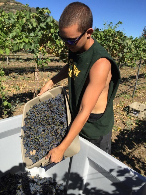 Sawmill Mountain Vineyards - Cabernet Harvest