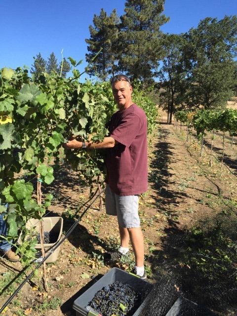 Sawmill Mountain - Harvesting Grapes
