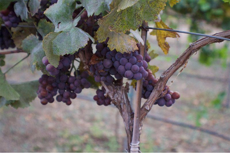 Grapes on Vine - Sawmill Mountain