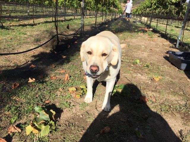One Dog - Sawmill Mountain Vineyards
