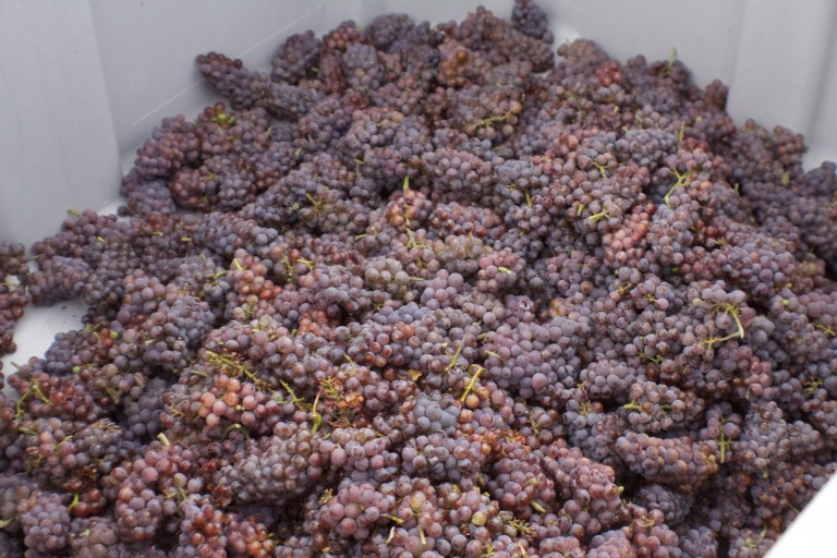 Harvested Grapes - Sawmill Mountain Vineyards