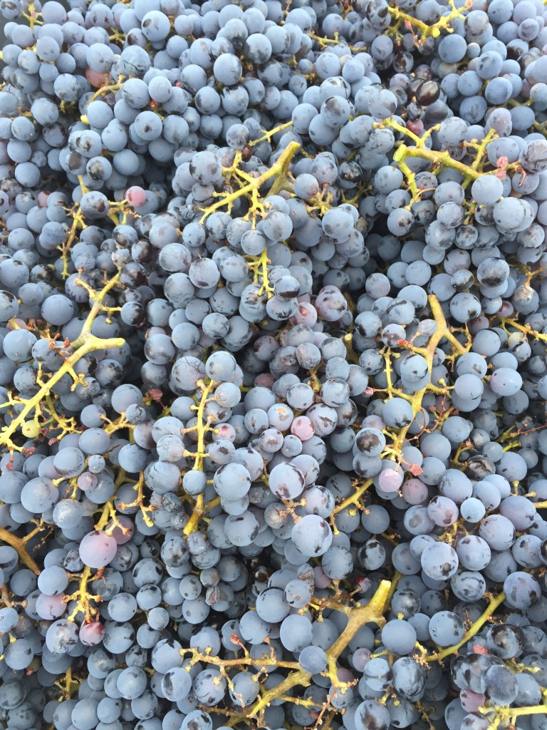 Red Wine Grapes - Sawmill Mountain
