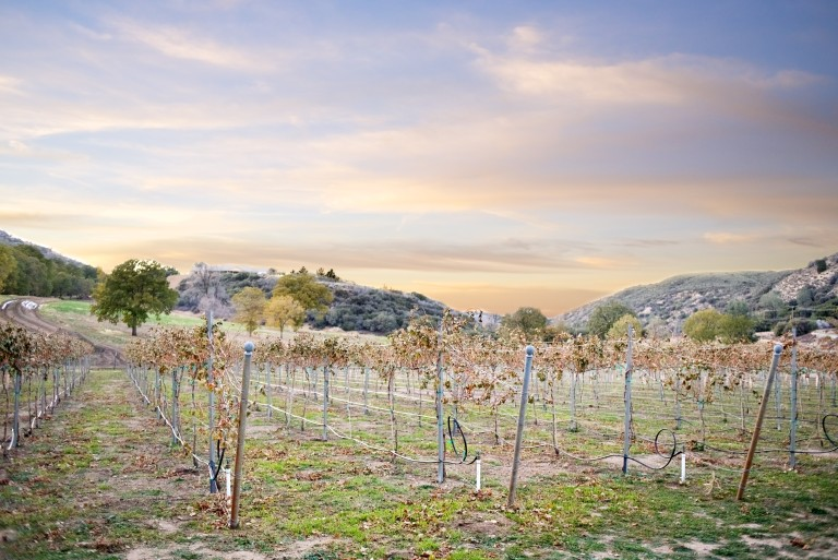 Grapevines at Sunset - Sawmill Mountain